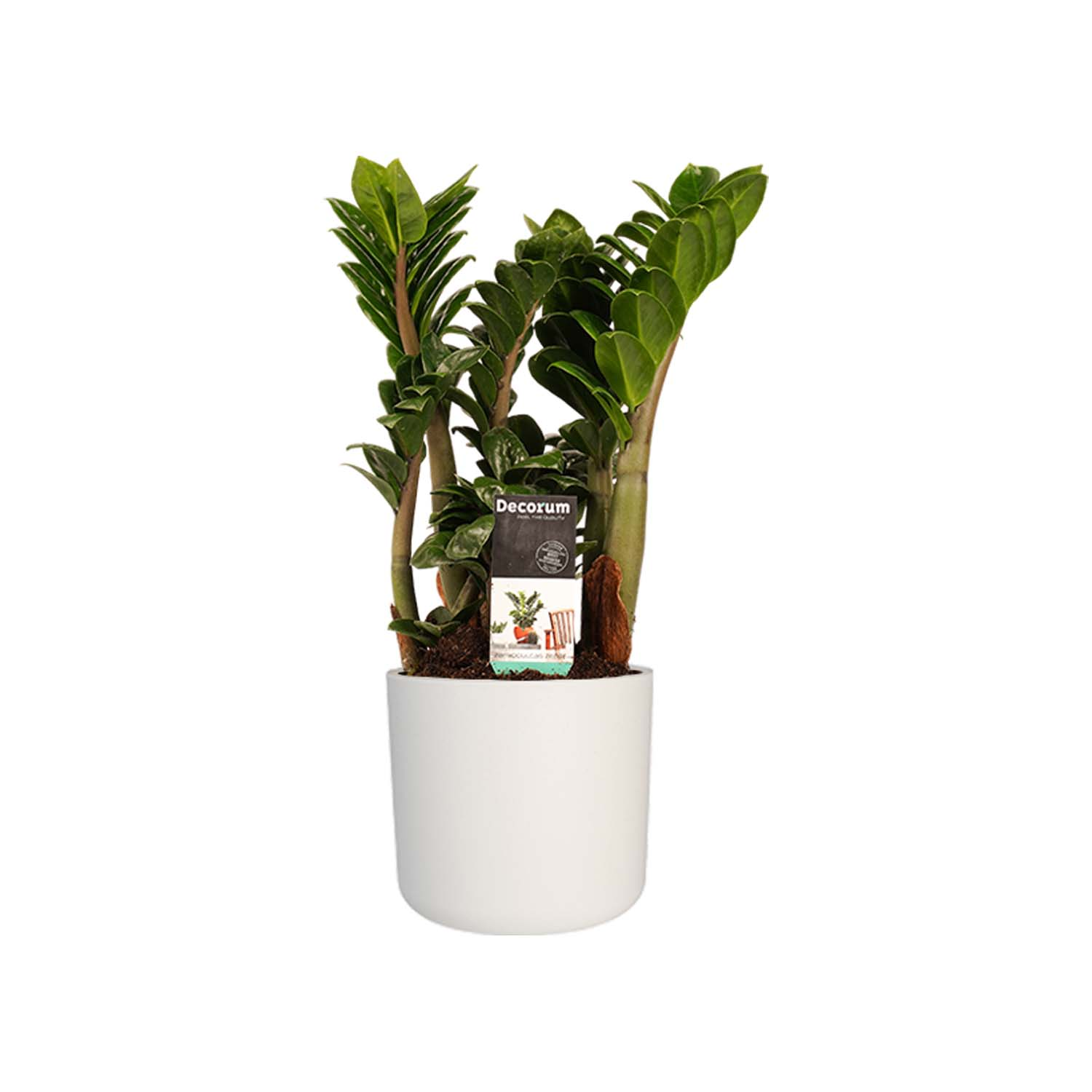 Indoor Plant – Zanzibar Gem in white cylindrical plant pot as a set – Height: 40 cm