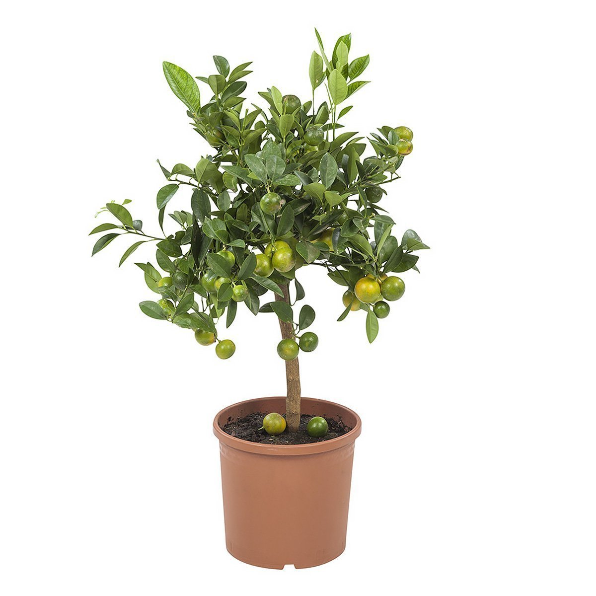 Obstpflanze – Calamondinorange – Höhe: 75 cm