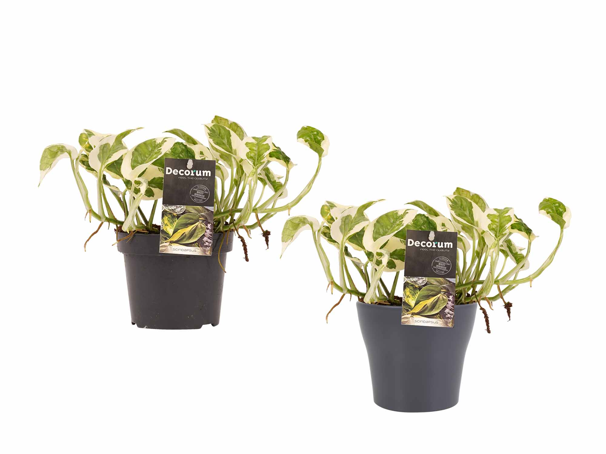 Indoor Plants – 2 × Devil's ivy in gray plant pot as a set – Height: 15 cm