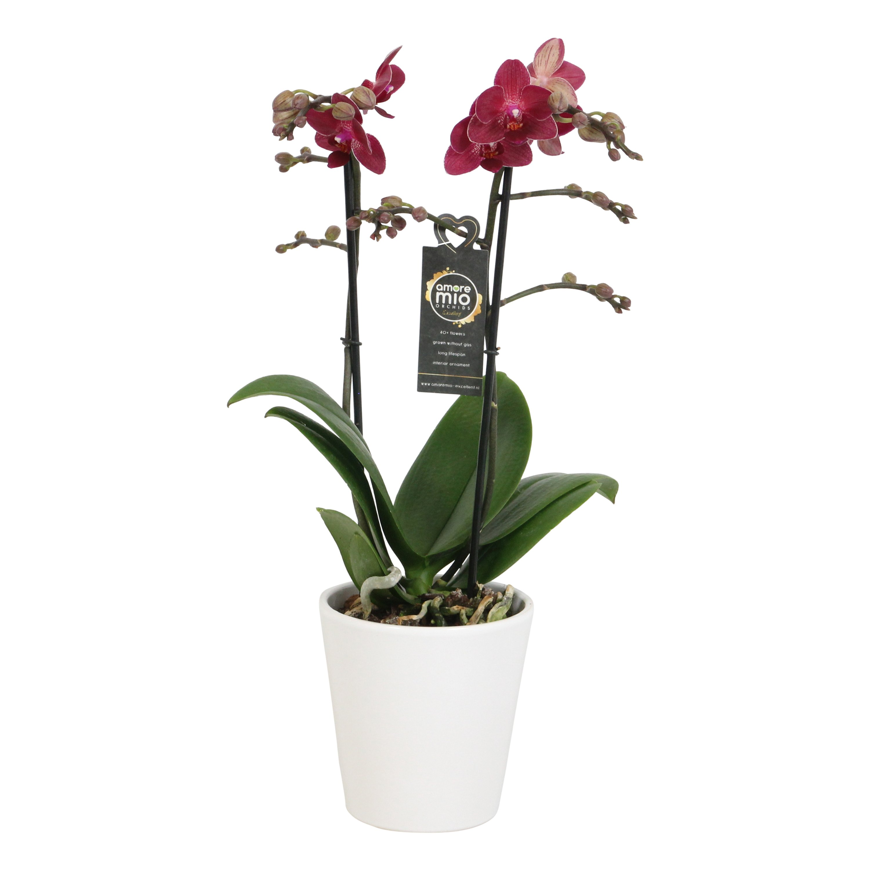 Orchid – Butterfly orchid in ribbed white ceramic pot as a set – Height: 45 cm, 2 stems, red flowers