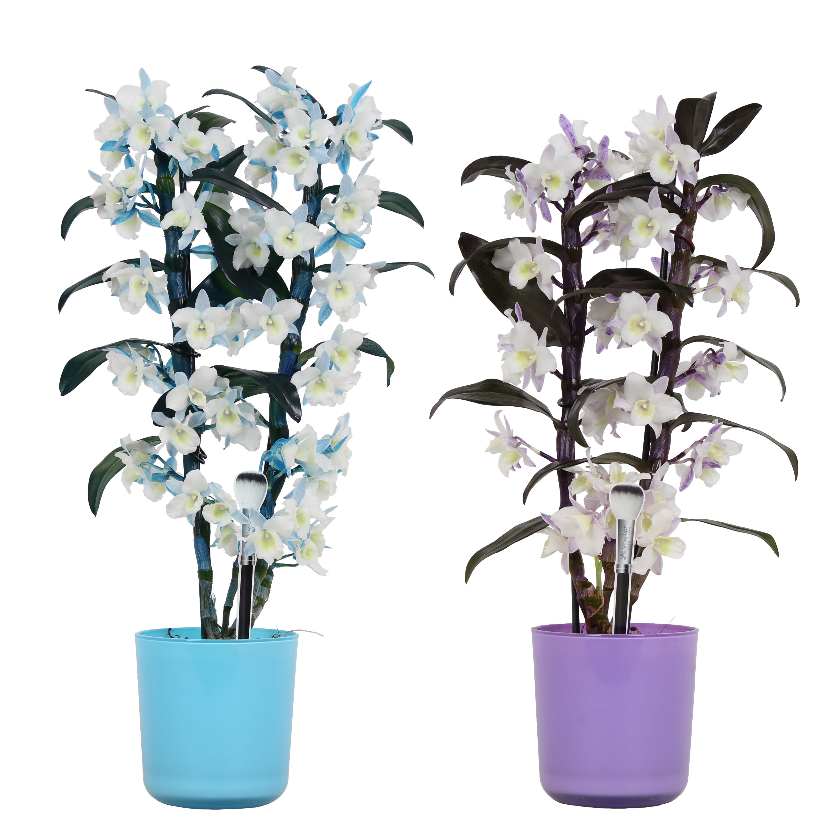 Orchids – 2 × Bamboo Orchid – Height: 50 cm, 2 stems, purple and white flowers