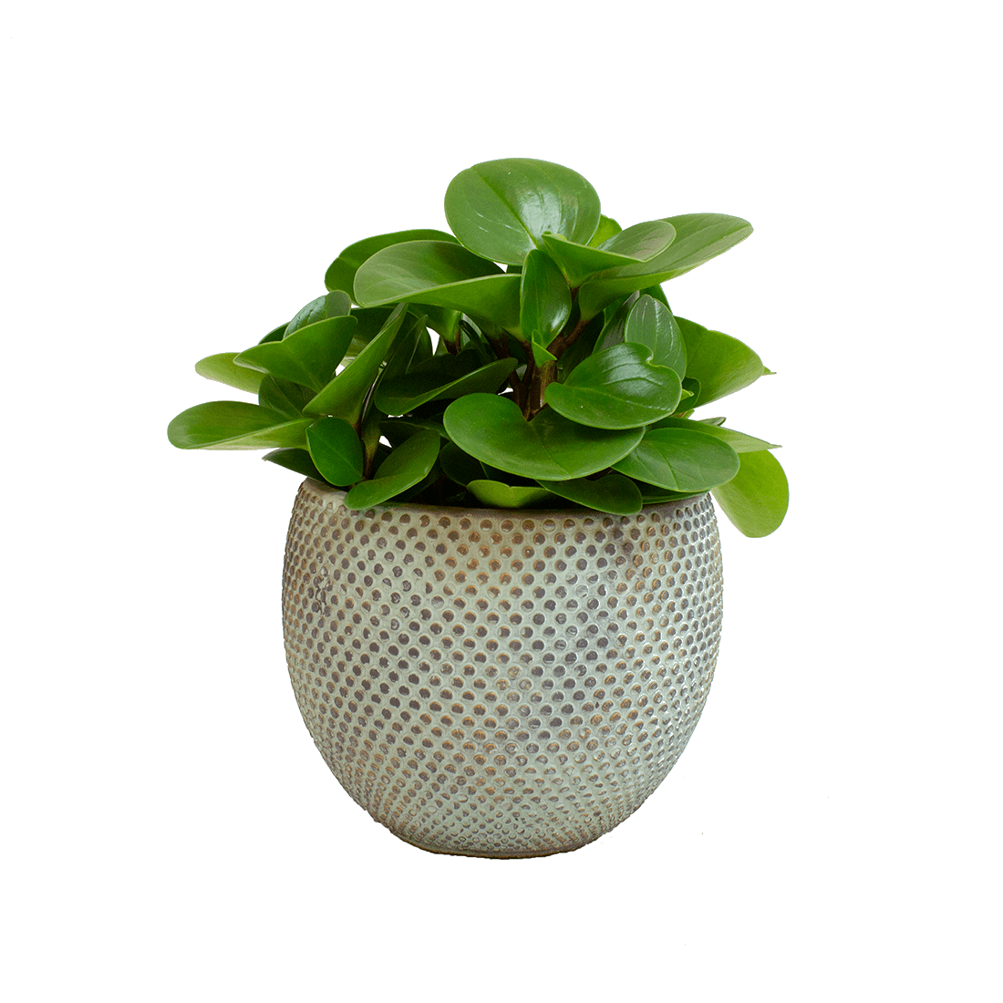 Indoor Plant – American Baby Rubber Plant in grey ceramics pot as a set – Height: 25 cm