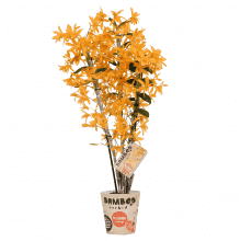 Orchid – Bamboo Orchid – Height: 50 cm, 3 stems