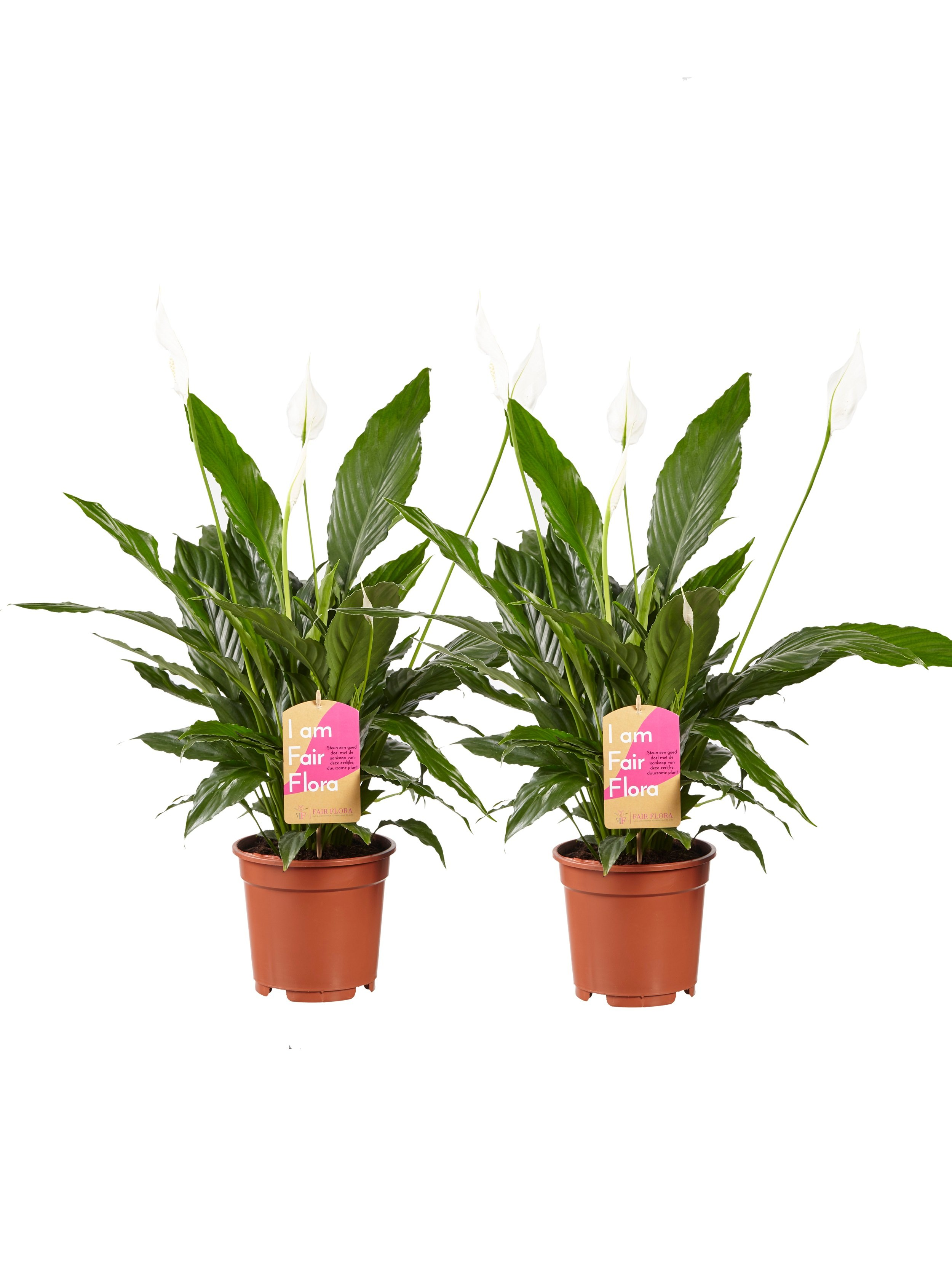 Indoor Plants – 2 × Peace lily – Height: 70 cm