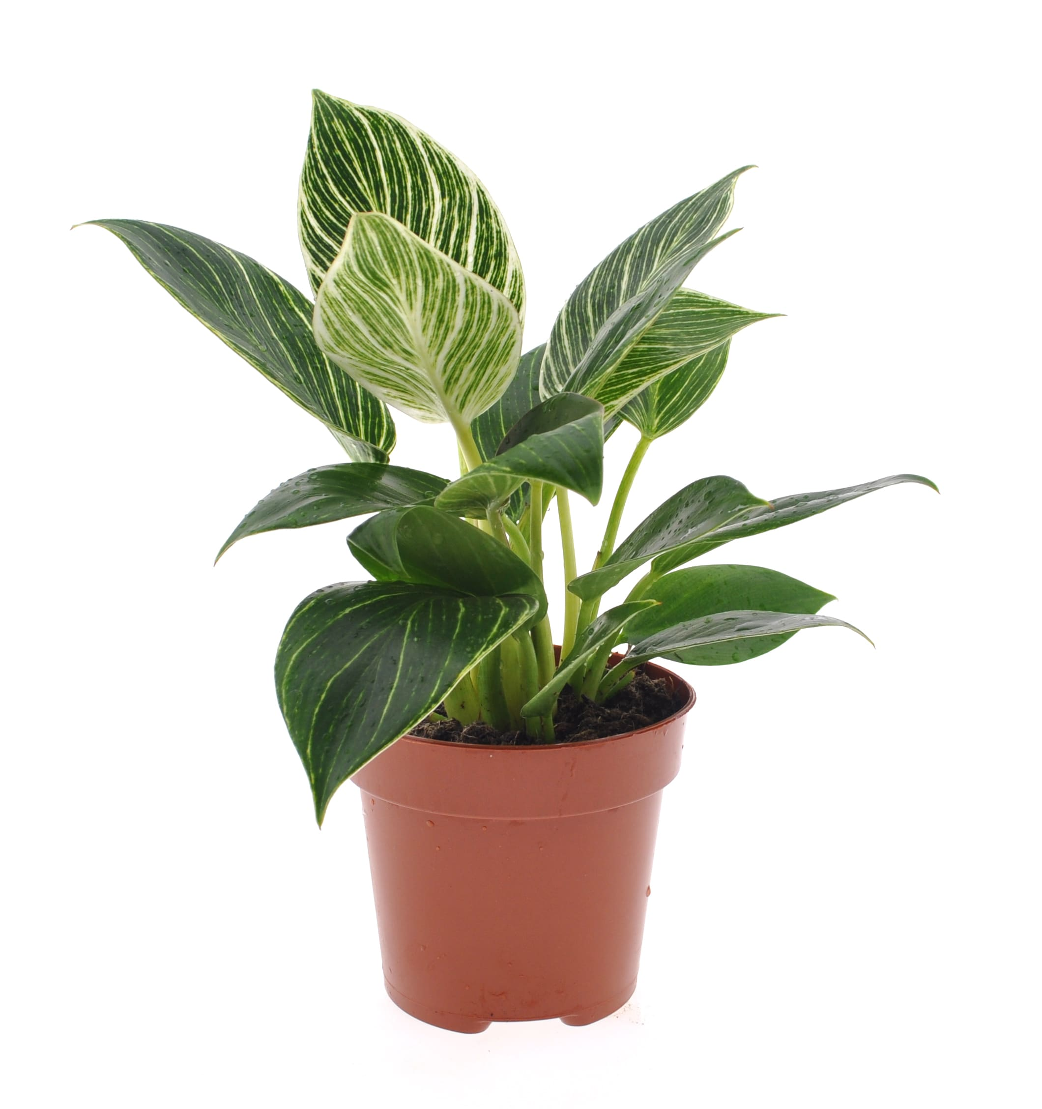 Zimmerpflanze – Philodendron Mix – Höhe: 25 cm, 1 Trieb