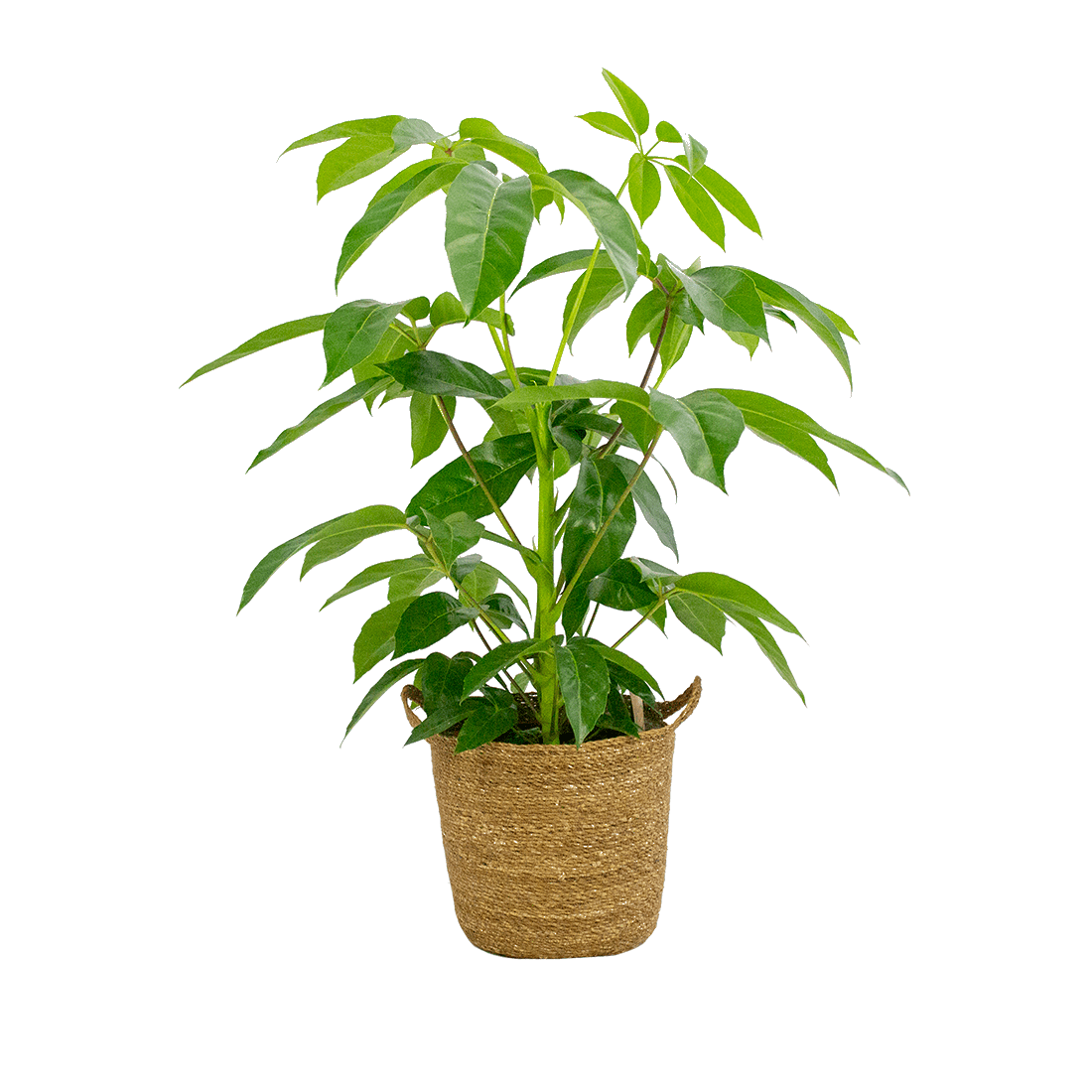 Indoor Plant – Umbrella tree in seagrass pot as a set – Height: 100 cm