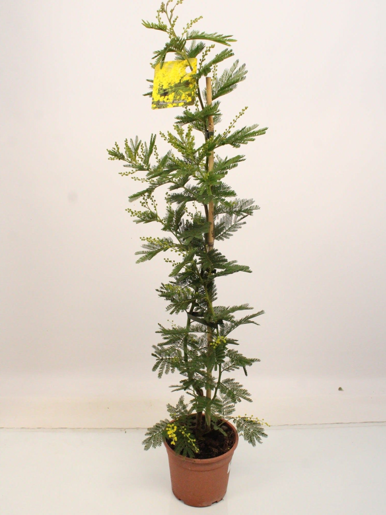 Zimmerpflanze – Acacia Mimosa – Höhe: 100 cm