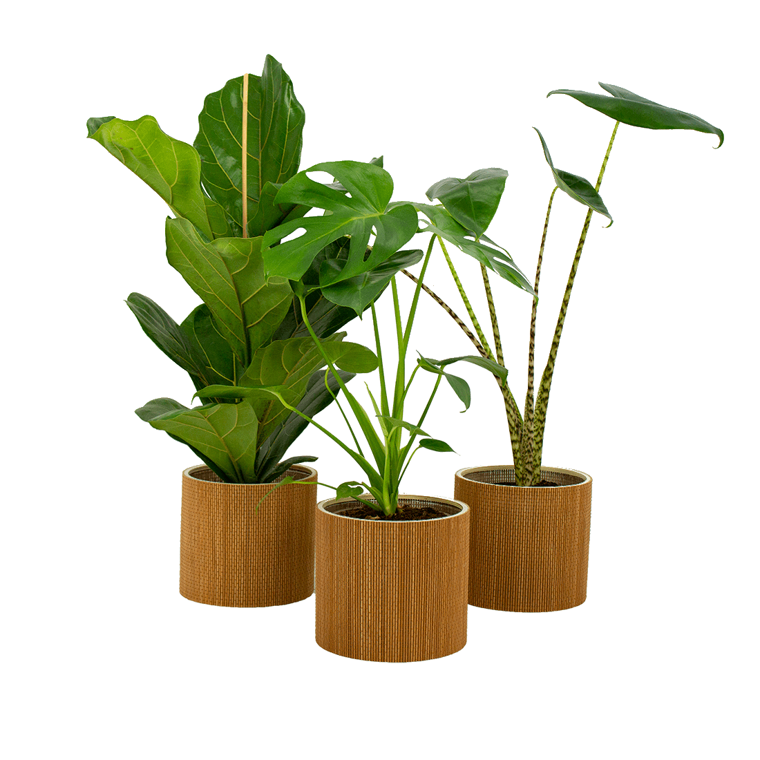 Indoor Plants – 3 × Fiddle-leaf fig in seagrass pot as a set – Height: 72 cm