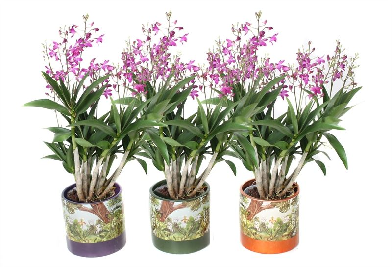 Orchideen – 3 × Bambus Orchidee rosa – Höhe: 40 cm, 6 Triebe