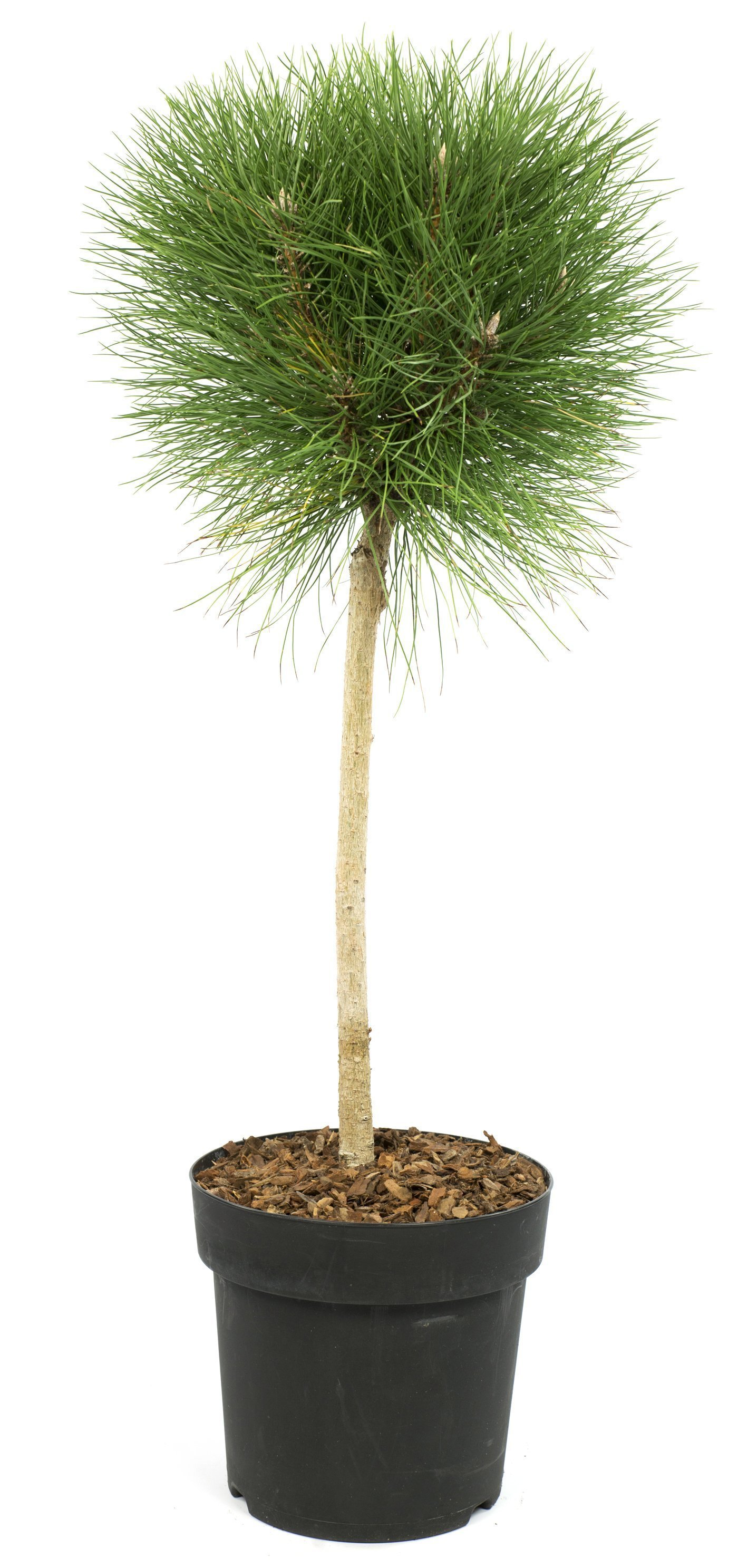 Baum – Pinus Summer Breeze – Höhe: 40 cm