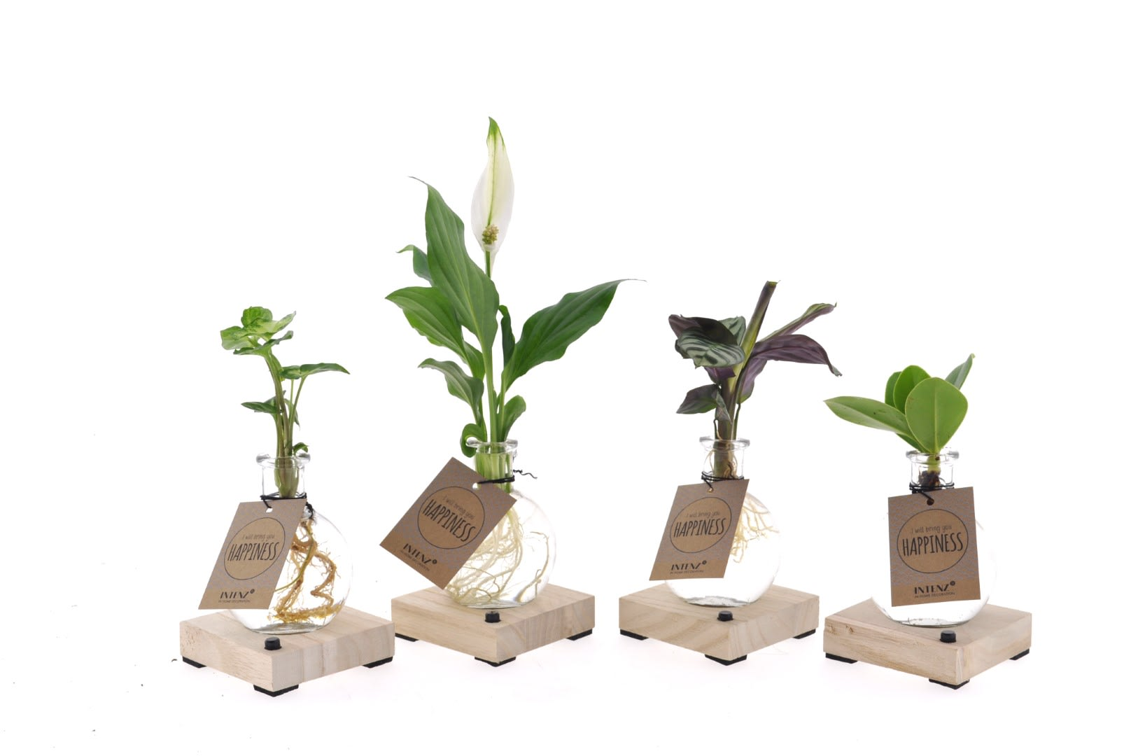 Indoor Plants – 4 × Fishbone prayer plant in glass with LED light as a set – Height: 10 cm