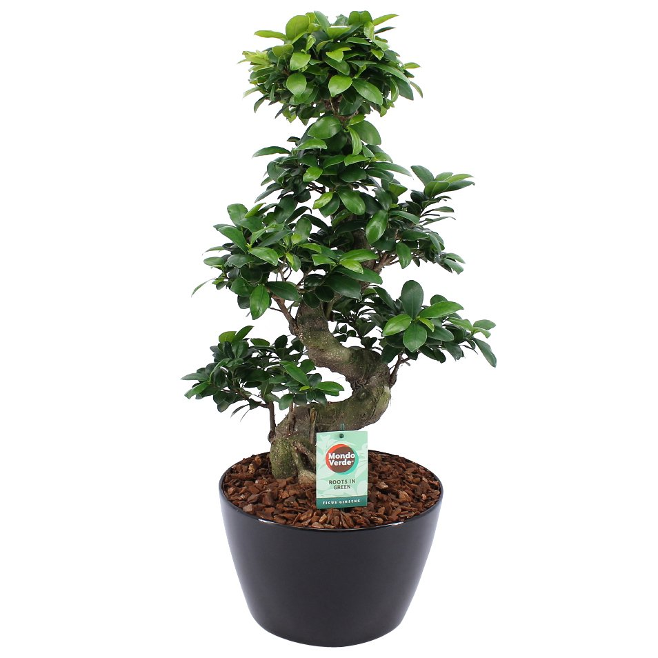 Bonsai – Bonsai di fico in vaso nero come set – Altezza: 70 cm