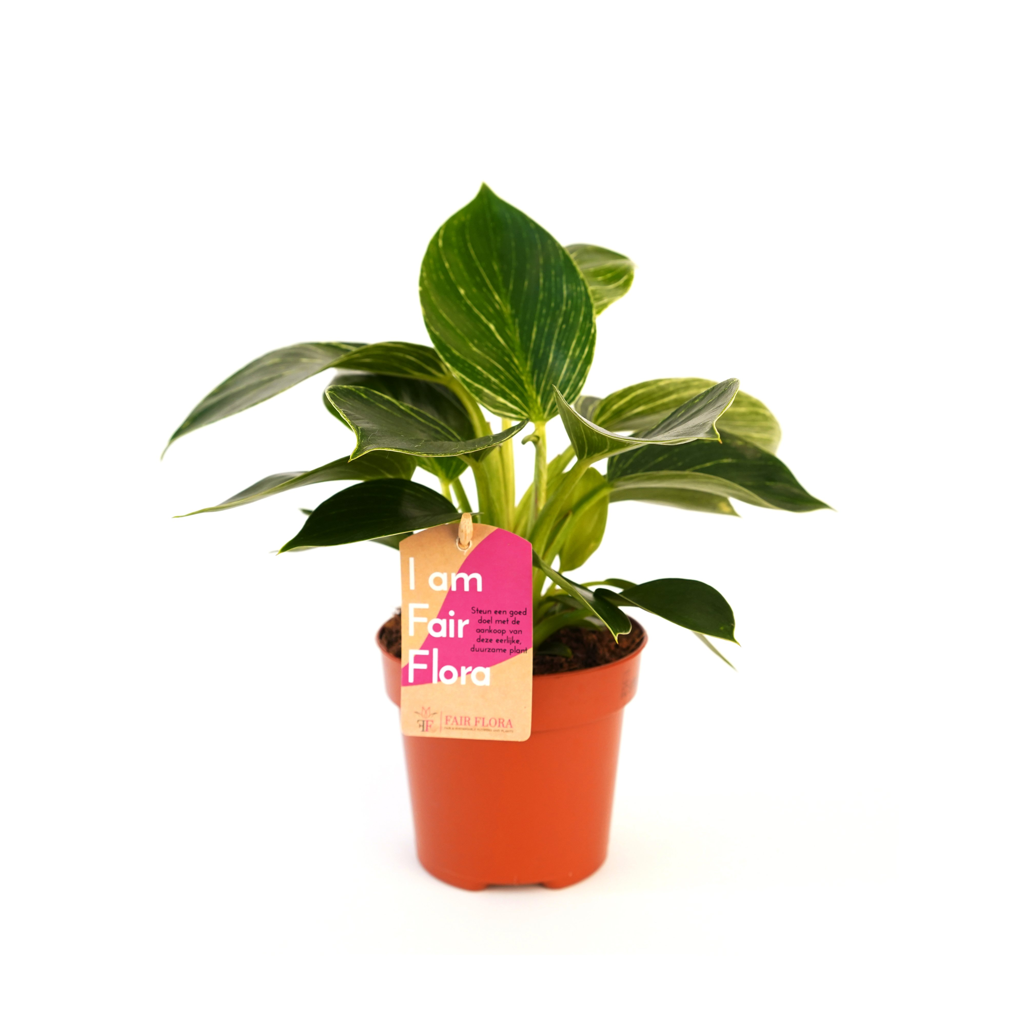 Kamerplant – Philodendron White Wave – Hoogte: 25 cm, 1 tak