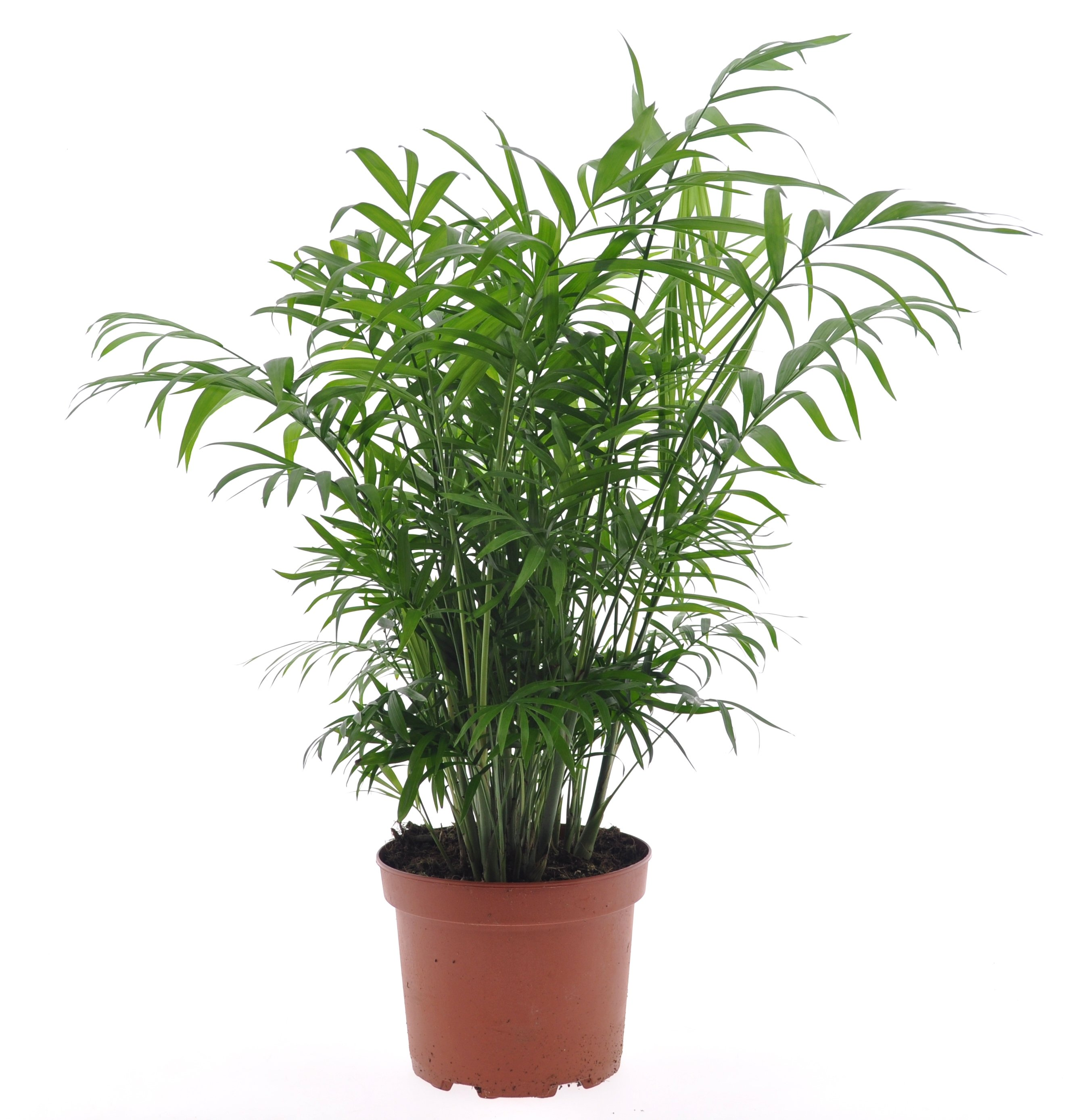 Indoor Plant – Parlour Palm – Height: 60 cm