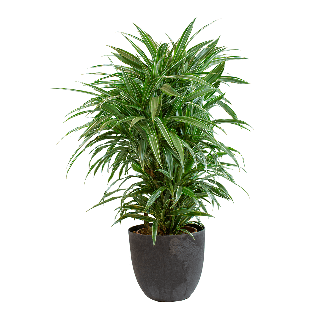 Indoor Plant – Dragon tree in grey plastic pot as a set – Height: 100 cm