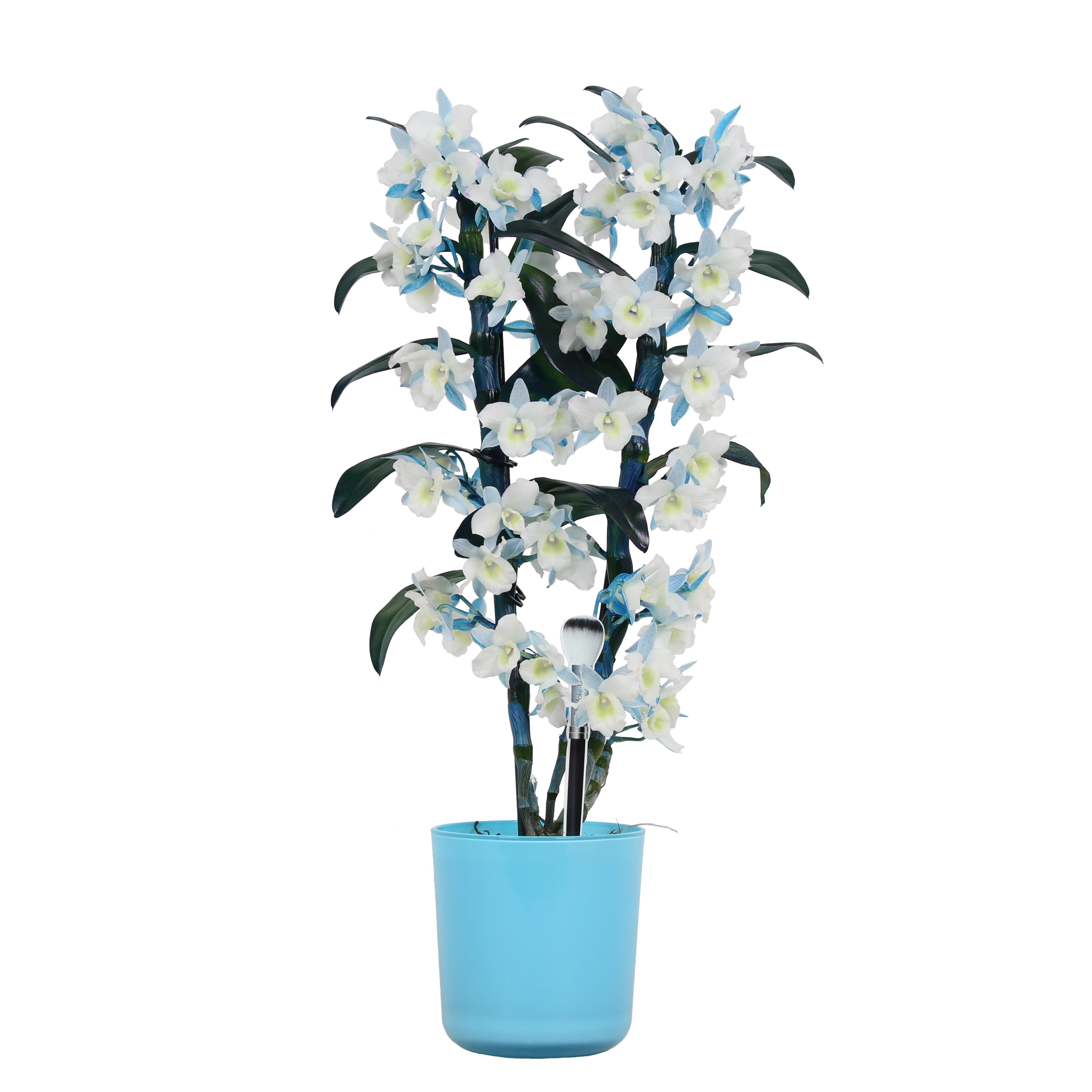 Orchid – Bamboo Orchid in blue plant pot as a set – Height: 50 cm, 2 stems, white-blue flowers