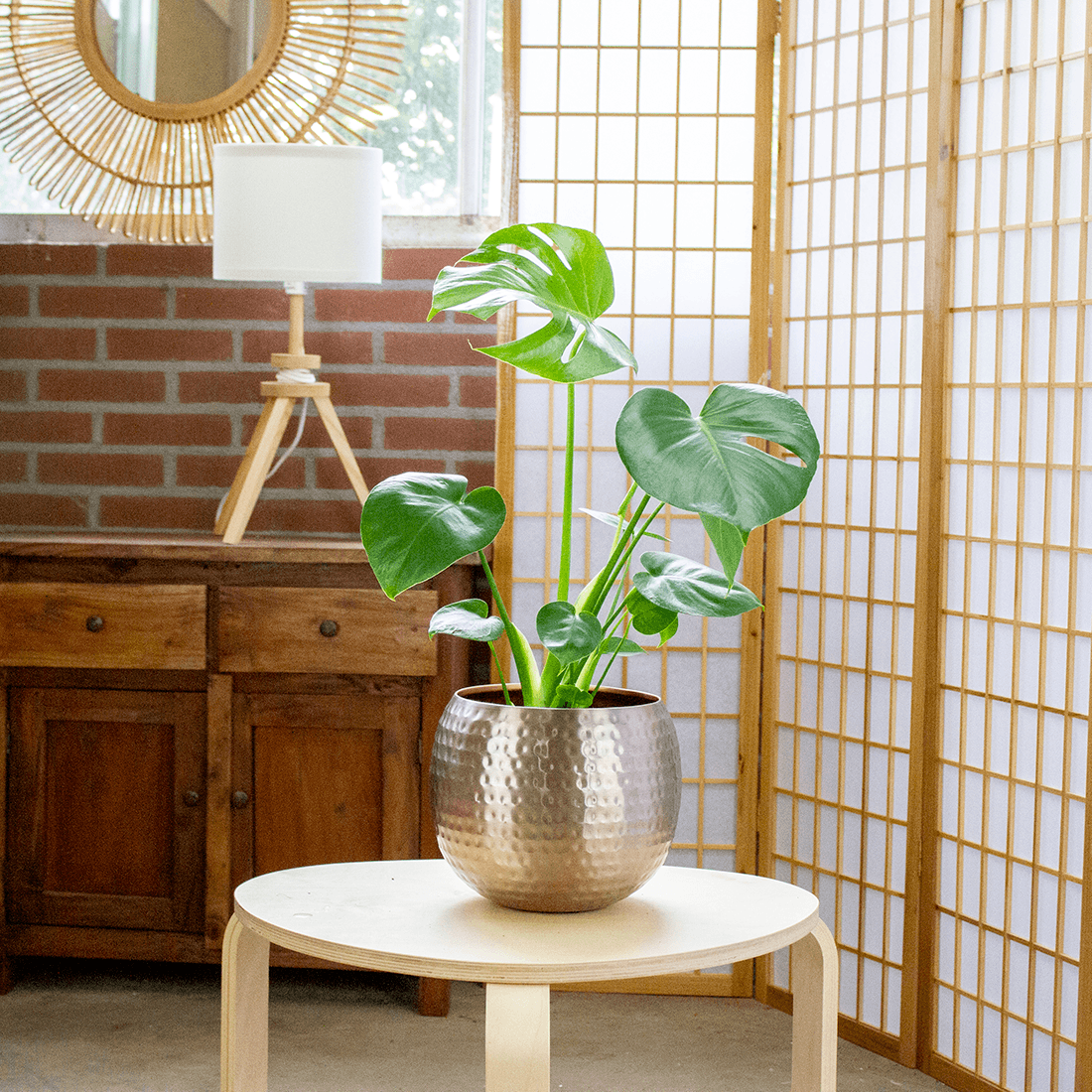 Indoor Plant – Monstera Deliciosa in rose gold metal pot as a set – Height: 70 cm, 1 stem
