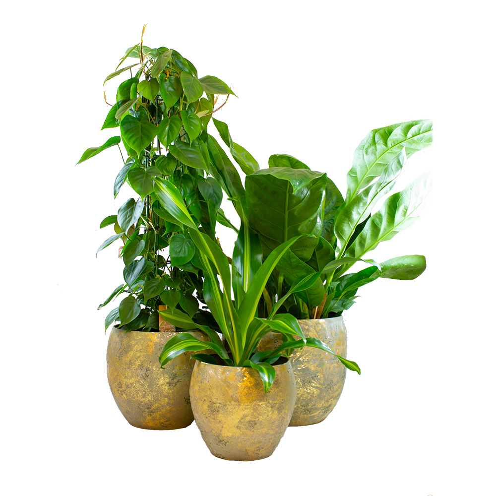 Indoor Plants – 3 × Dragon tree, Climbing Philodendron, Flamingo Flower in golden metal pot as a set – Height: 90 cm