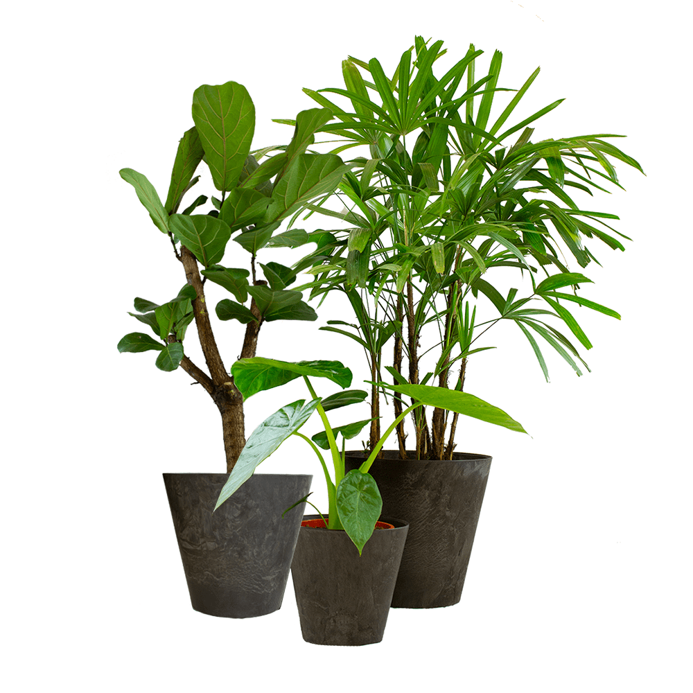 Indoor Plants – 3 × Alocasia, Fiddle-leaf fig, Lady palm in grey plastic pot as a set – Height: 95 cm