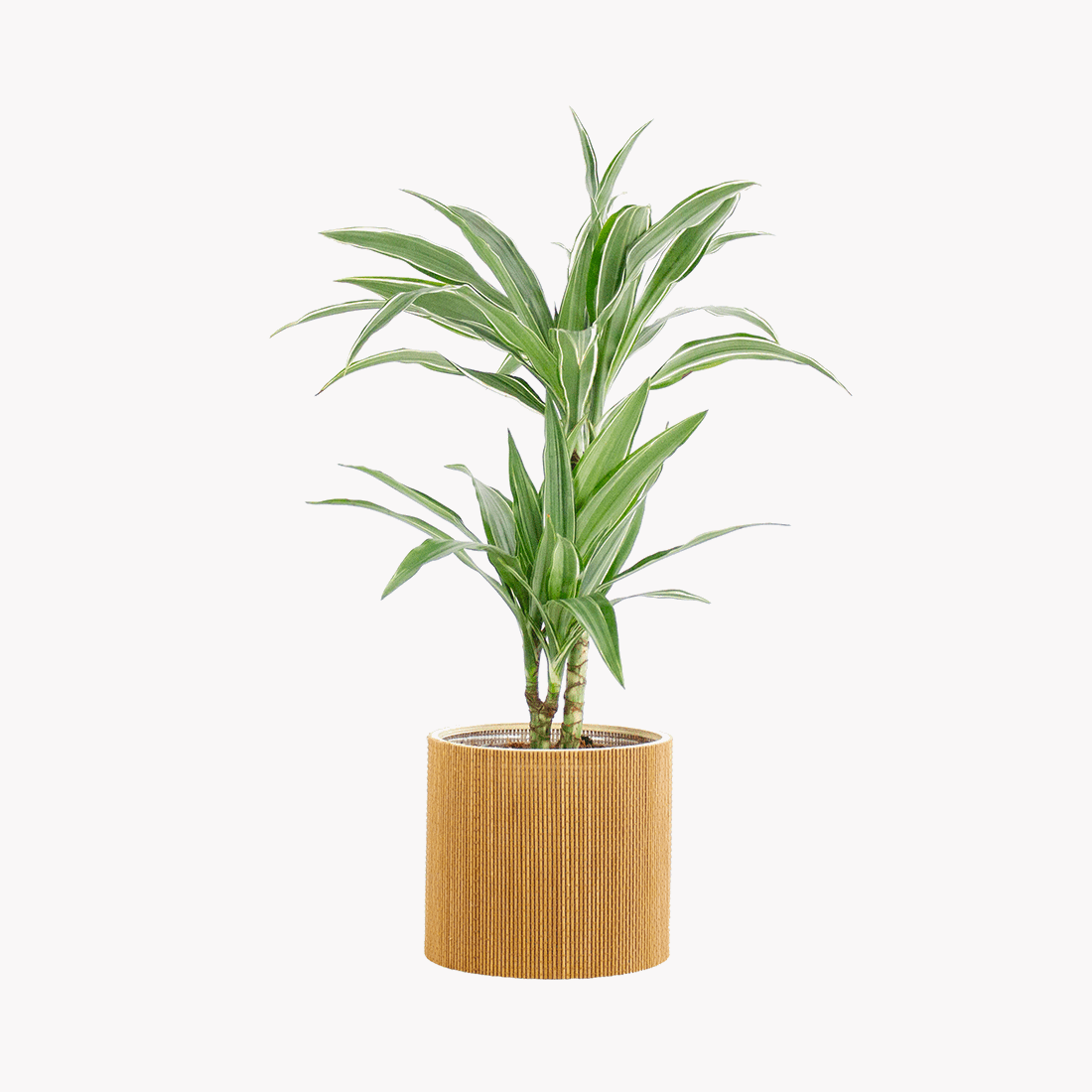 Indoor Plant – Dragon tree in seagrass pot as a set – Height: 70 cm