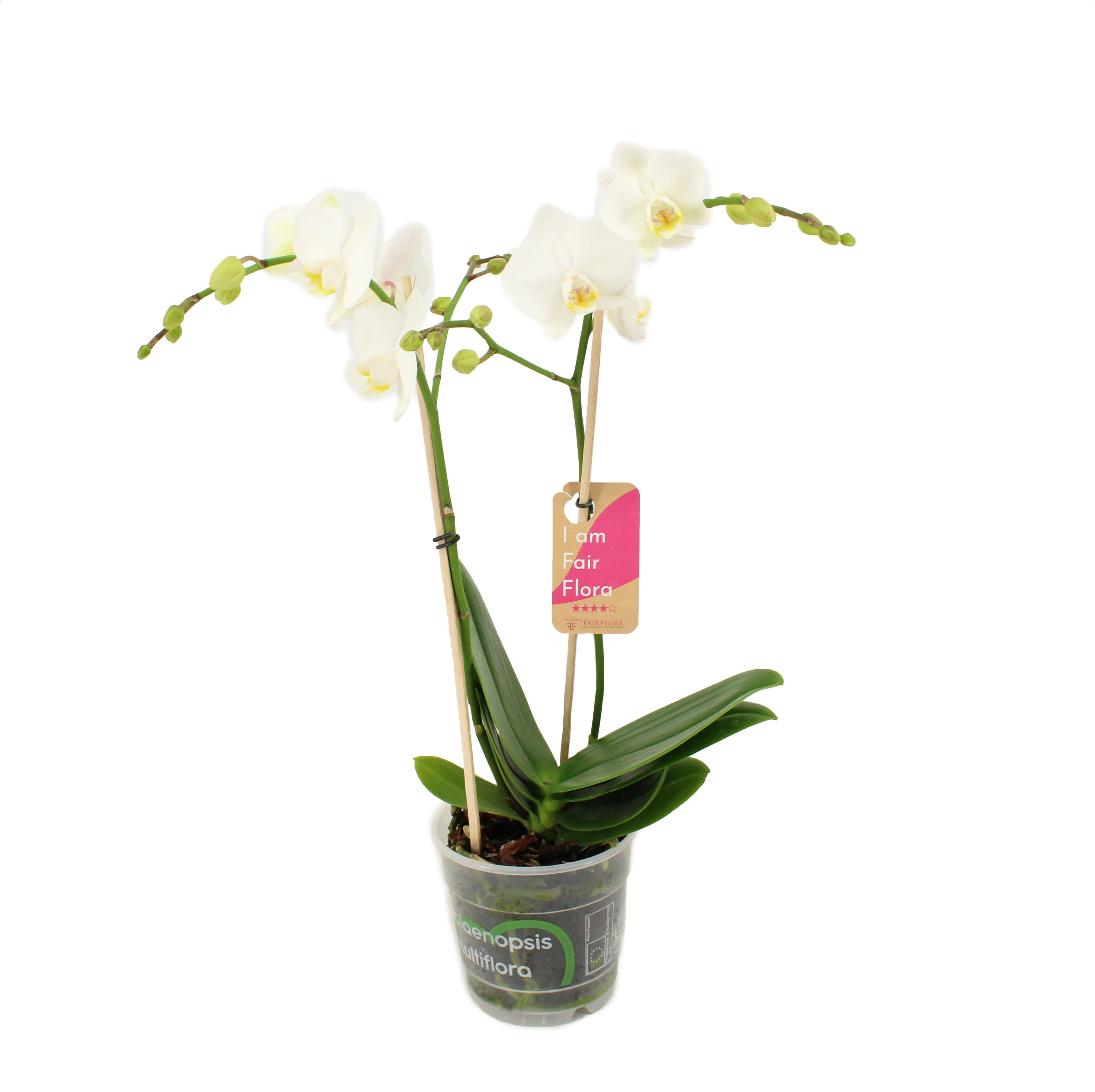 Orchidee – Orchidee – Höhe: 50 cm, 2 Triebe