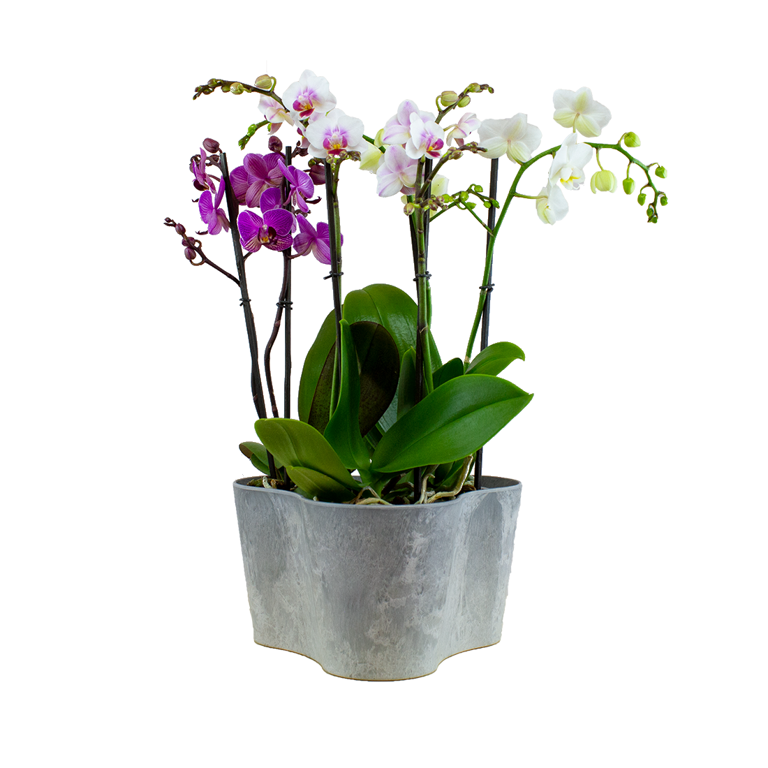 Orchids – 3 × Butterfly orchid, Butterfly orchid, Orchid in grey plastic pot as a set – Height: 48 cm, 2 stems