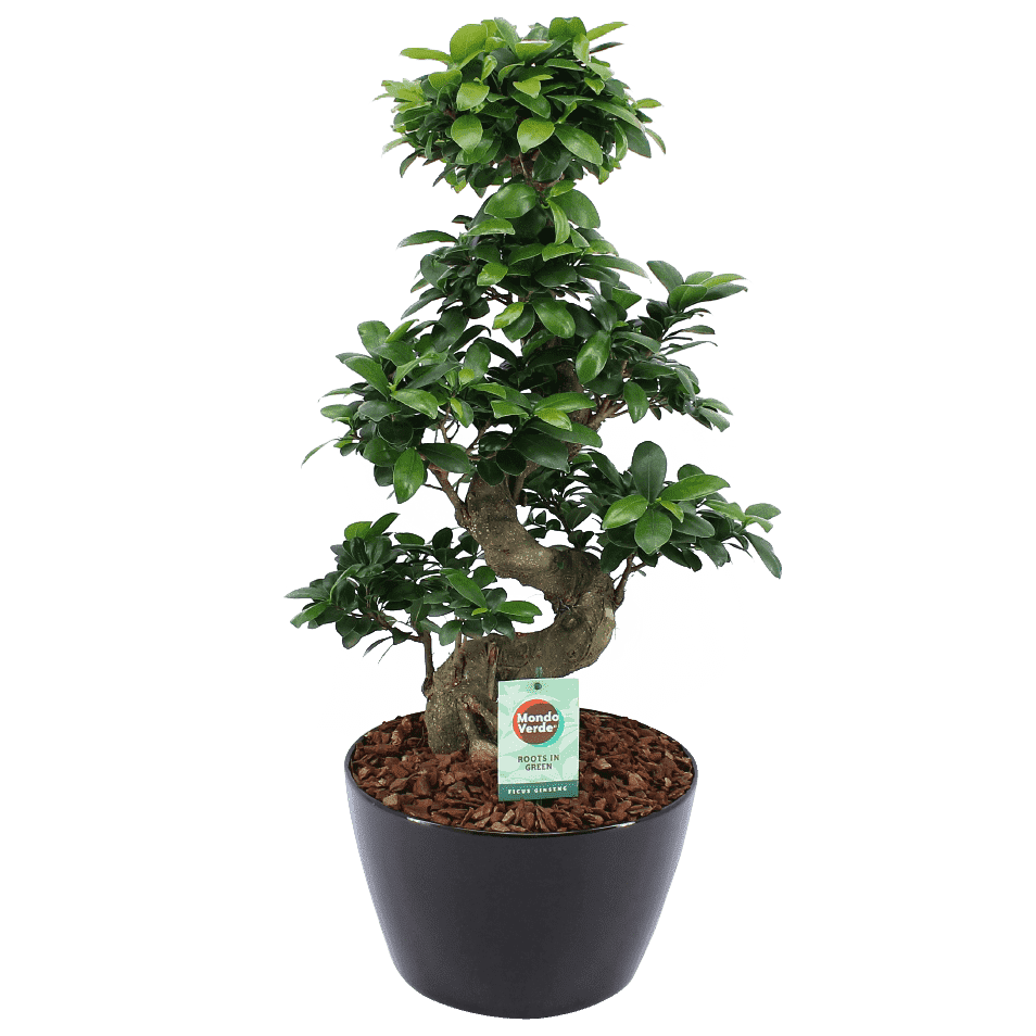 Bonsai – Bonsai di fico in vaso nero come set – Altezza: 60 cm