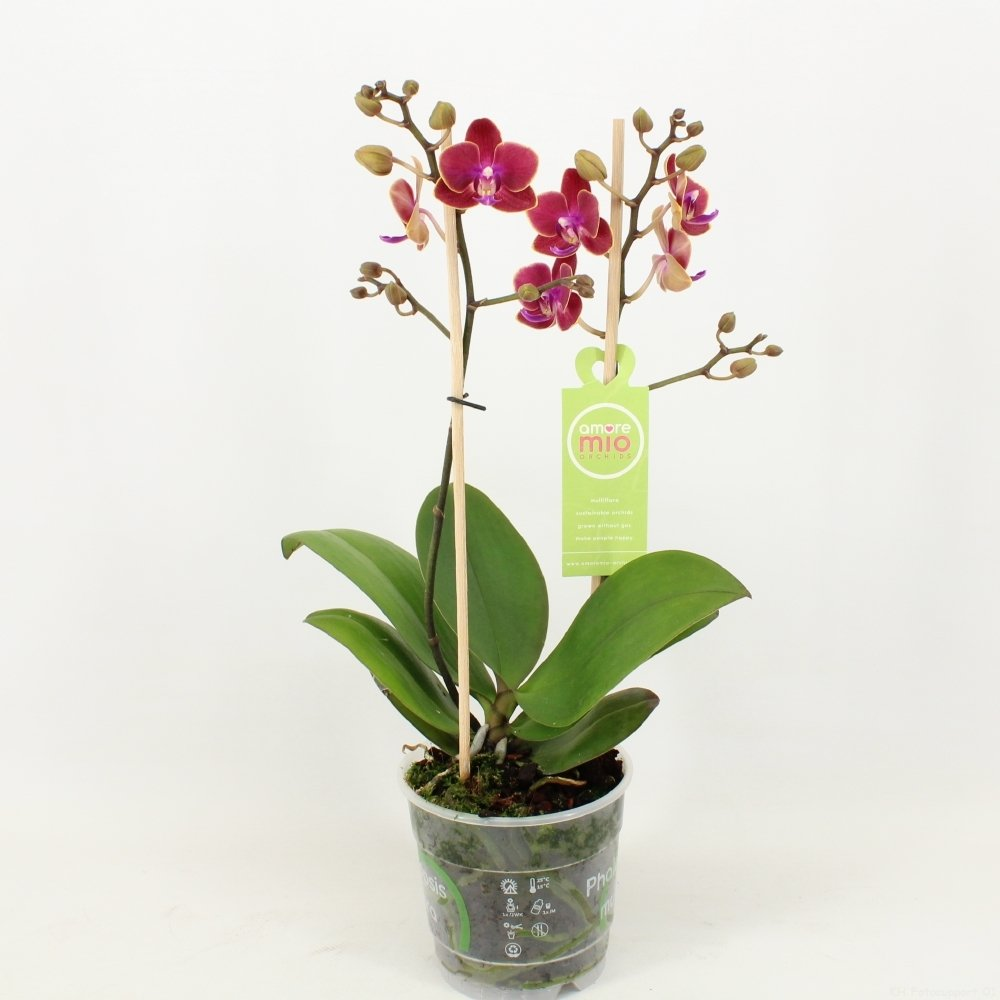 Orchid – Butterfly orchid – Height: 40 cm, 1 stem