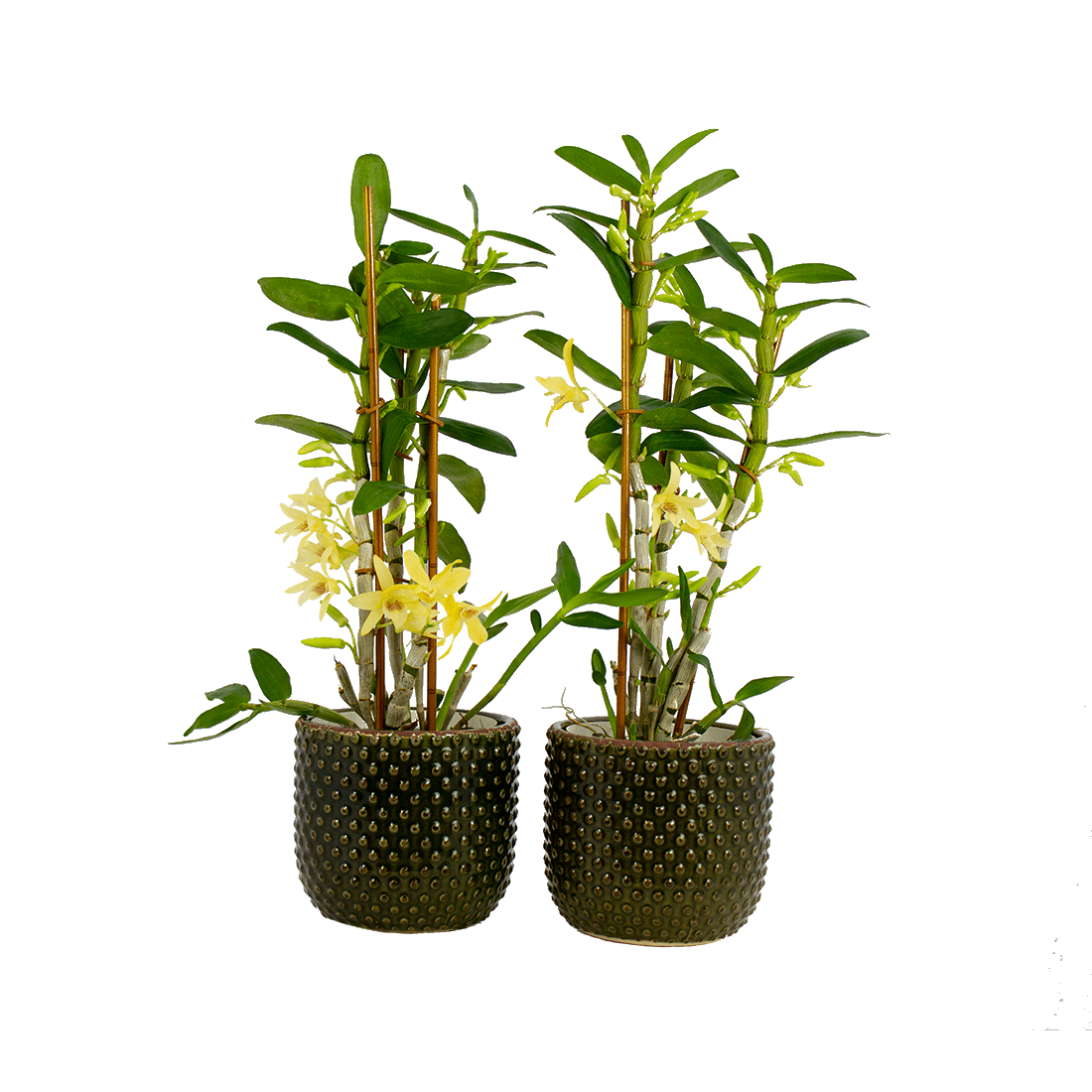 Orchids – 2 × Bamboo Orchid in dark green ceramics pot as a set – Height: 50 cm, 3 stems
