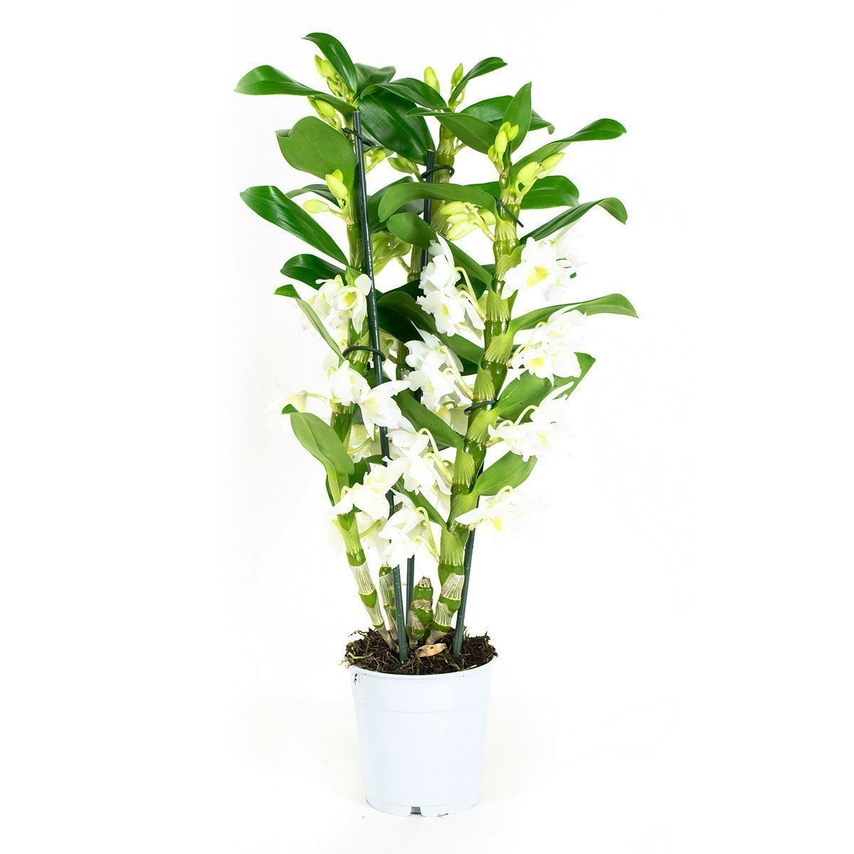 Orchid – Bamboo Orchid – Height: 50 cm, 3 stems, white flowers
