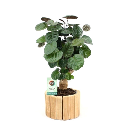 Indoor Plant – Polyscias in real wood plant pot as a set – Height: 40 cm