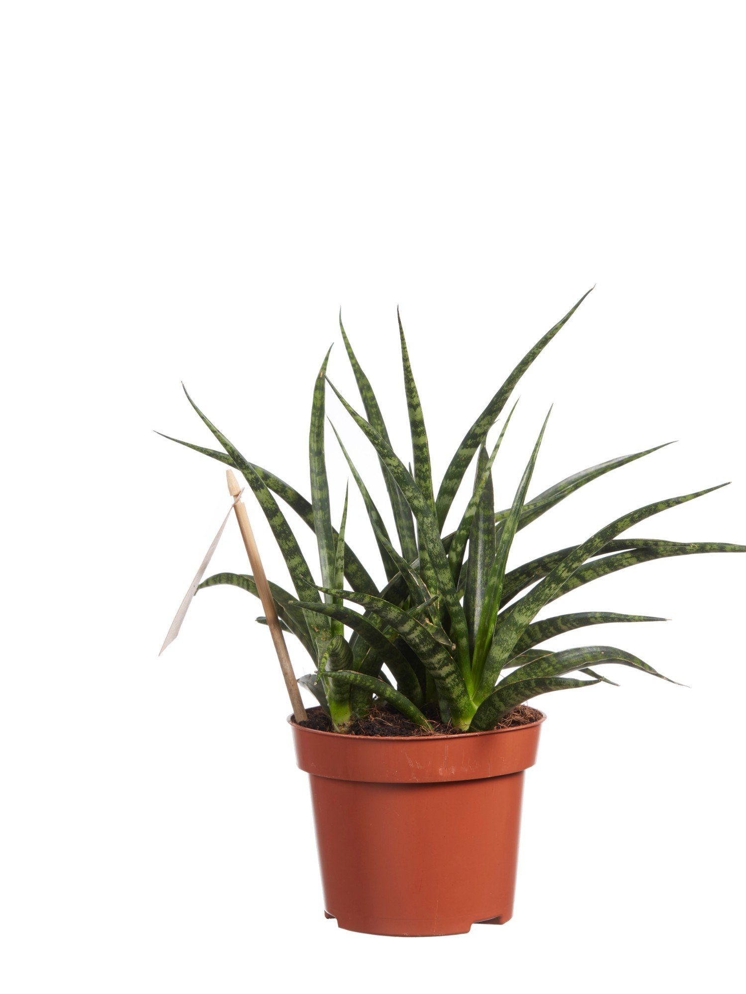 Indoor Plant – Snakeplant – Height: 30 cm