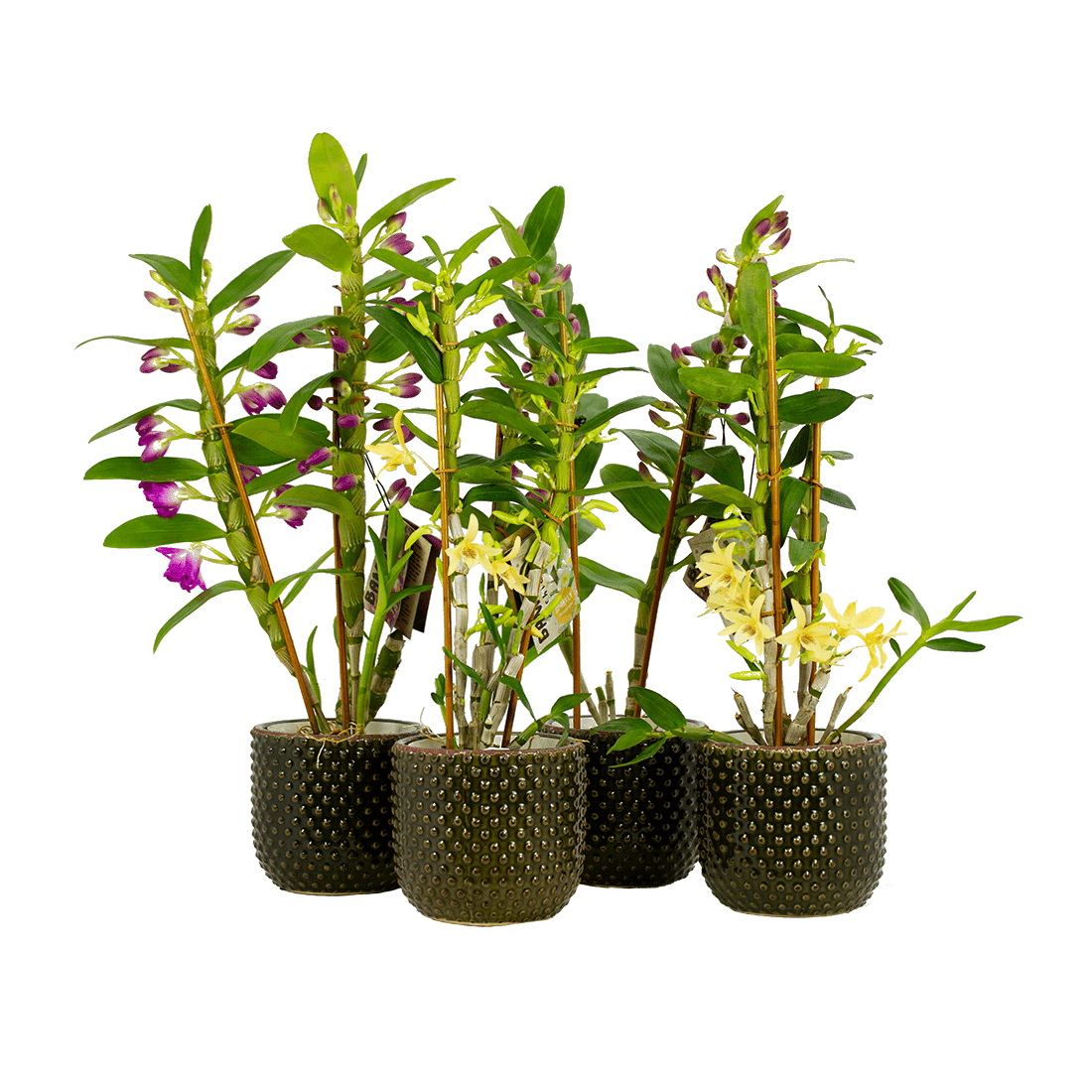 Orchidea – 4 × Bambù orchidea in vaso di ceramica verde scuro come set – Altezza: 50 cm, 3 germogli