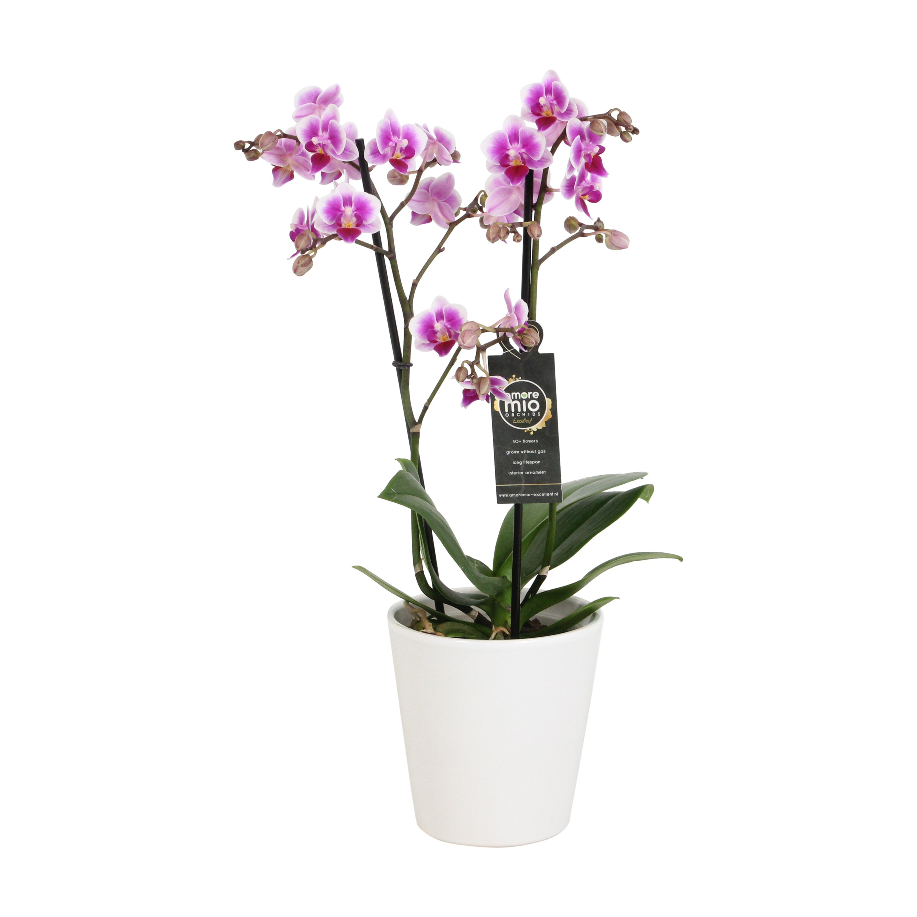 Orchid – Butterfly orchid in white ceramic pot as a set – Height: 45 cm, 2 stems, pink-white flowers
