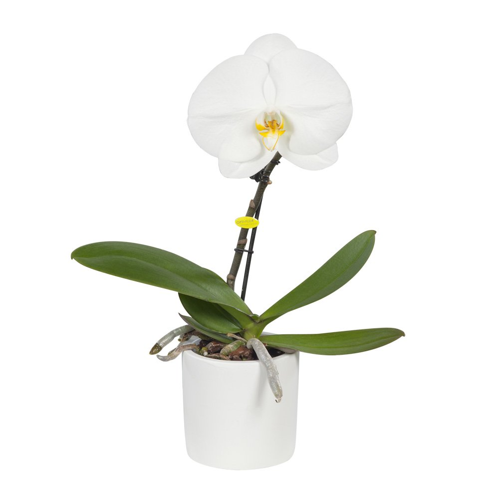 Orchid – Butterfly orchid white – Height: 28 cm, 1 stem, white flowers