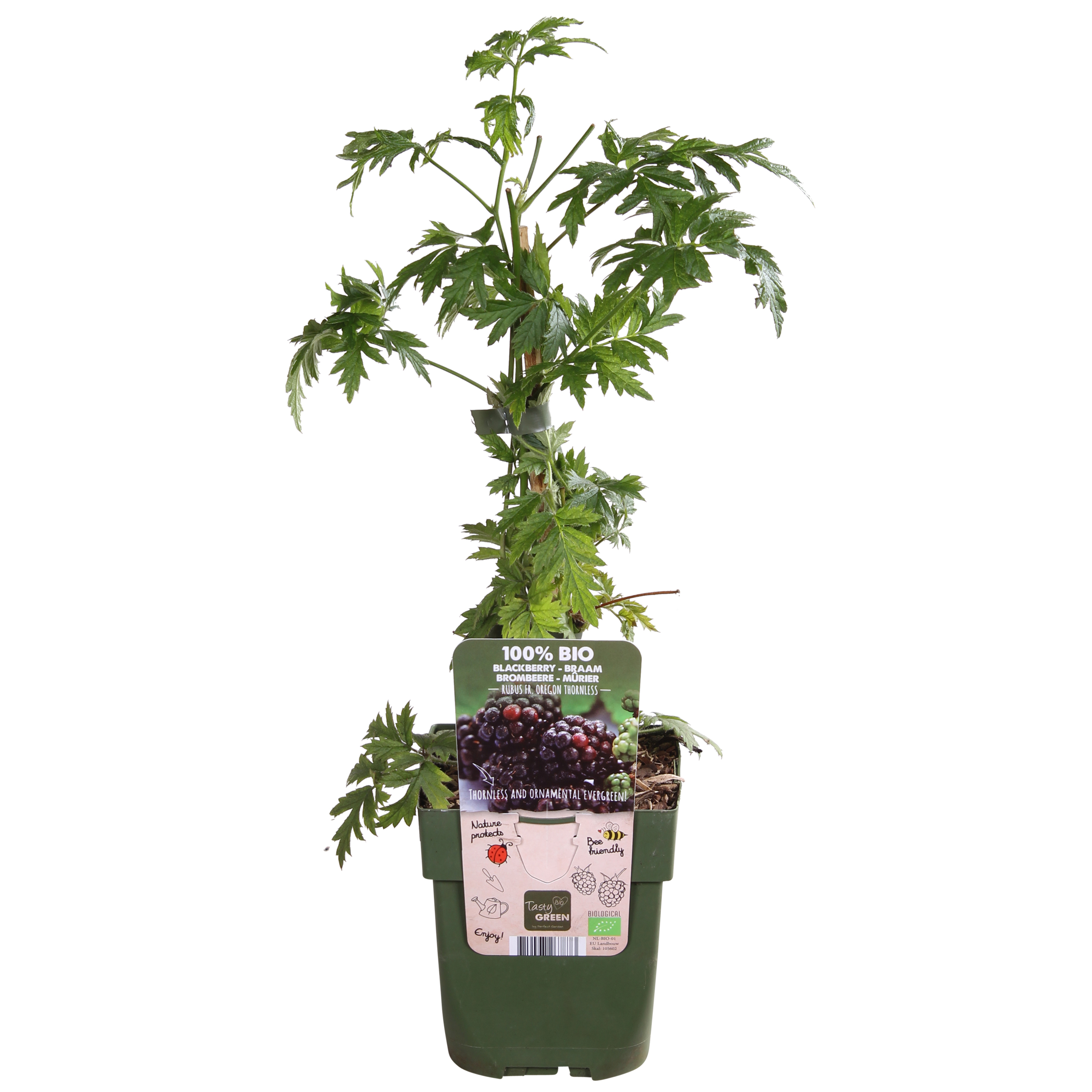 Obstpflanze – Brombeere – Höhe: 55 cm