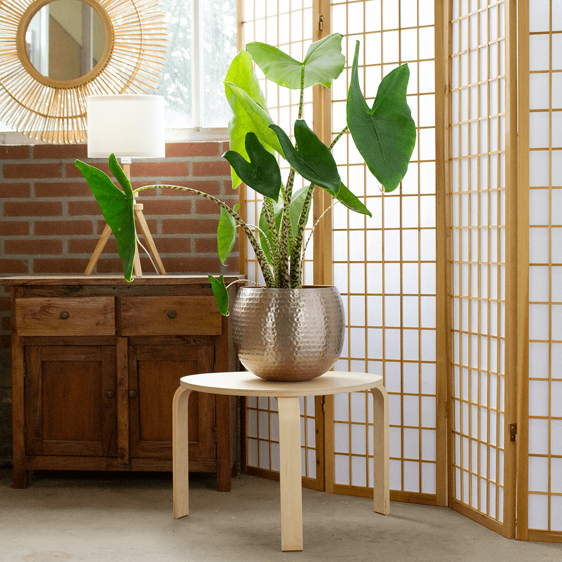 Indoor Plant – Elephant ear in rose gold metal pot as a set – Height: 80 cm