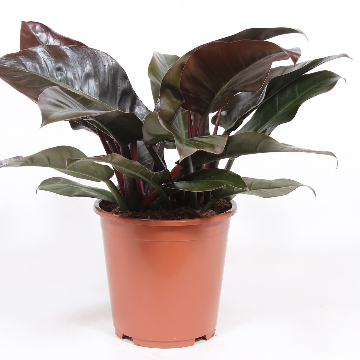 Kamerplant – Philodendron Imperial Red – Hoogte: 60 cm
