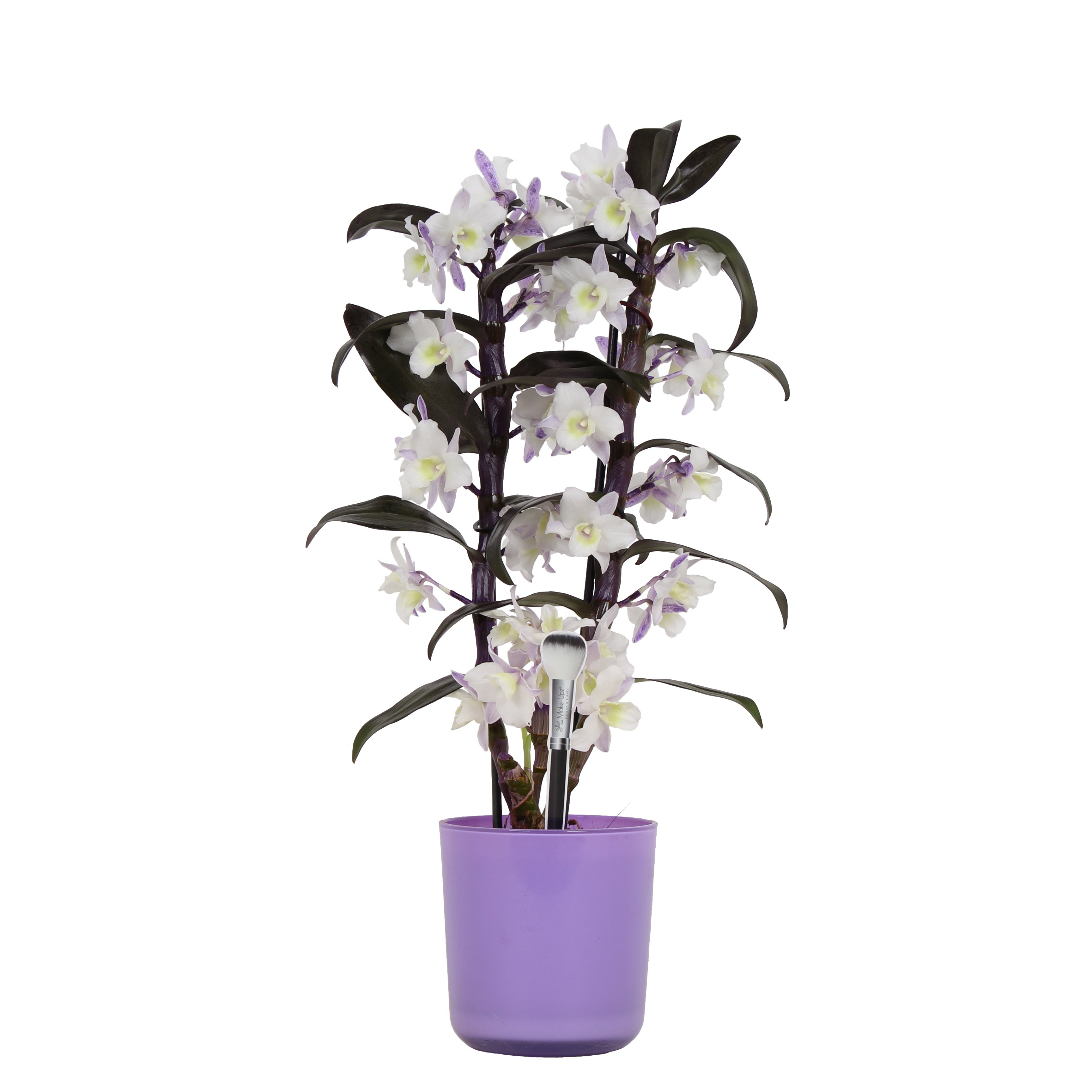 Orchid – Bamboo Orchid in violet plant pot as a set – Height: 50 cm, 2 stems, white-purple flowers