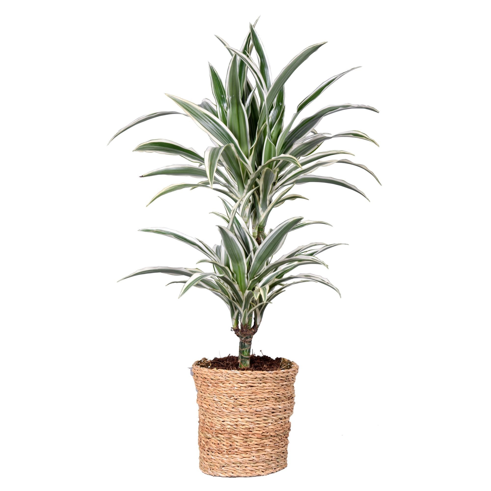 Indoor Plant – Dragon tree in rattan basket as a set – Height: 70 cm