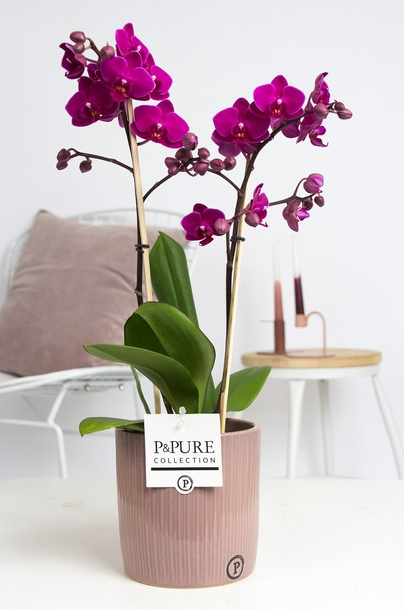 Orchid – Butterfly orchid in ceramic pot as a set – Height: 40 cm, 1 stem