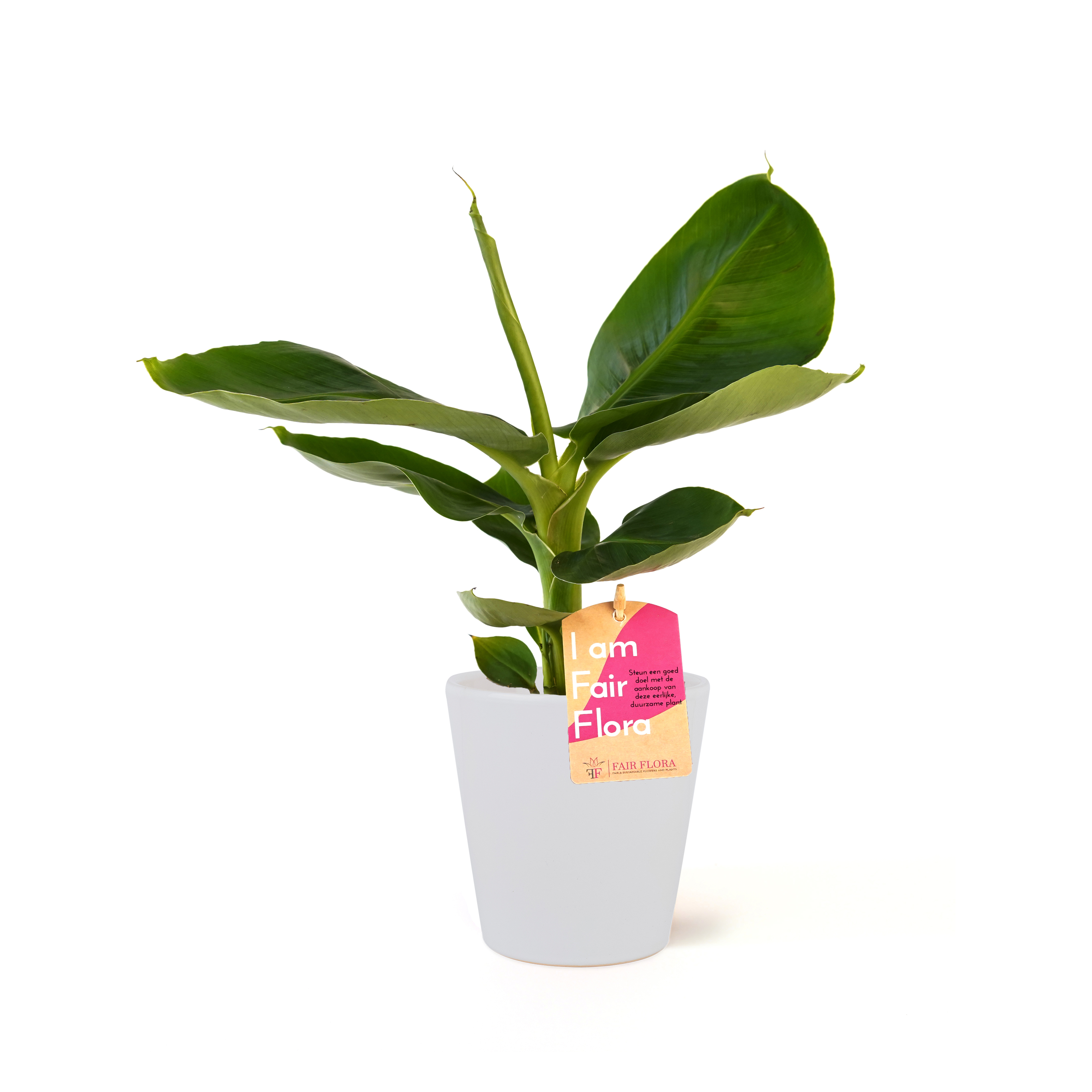 Indoor Plant – Banana plant in white plant pot as a set – Height: 40 cm