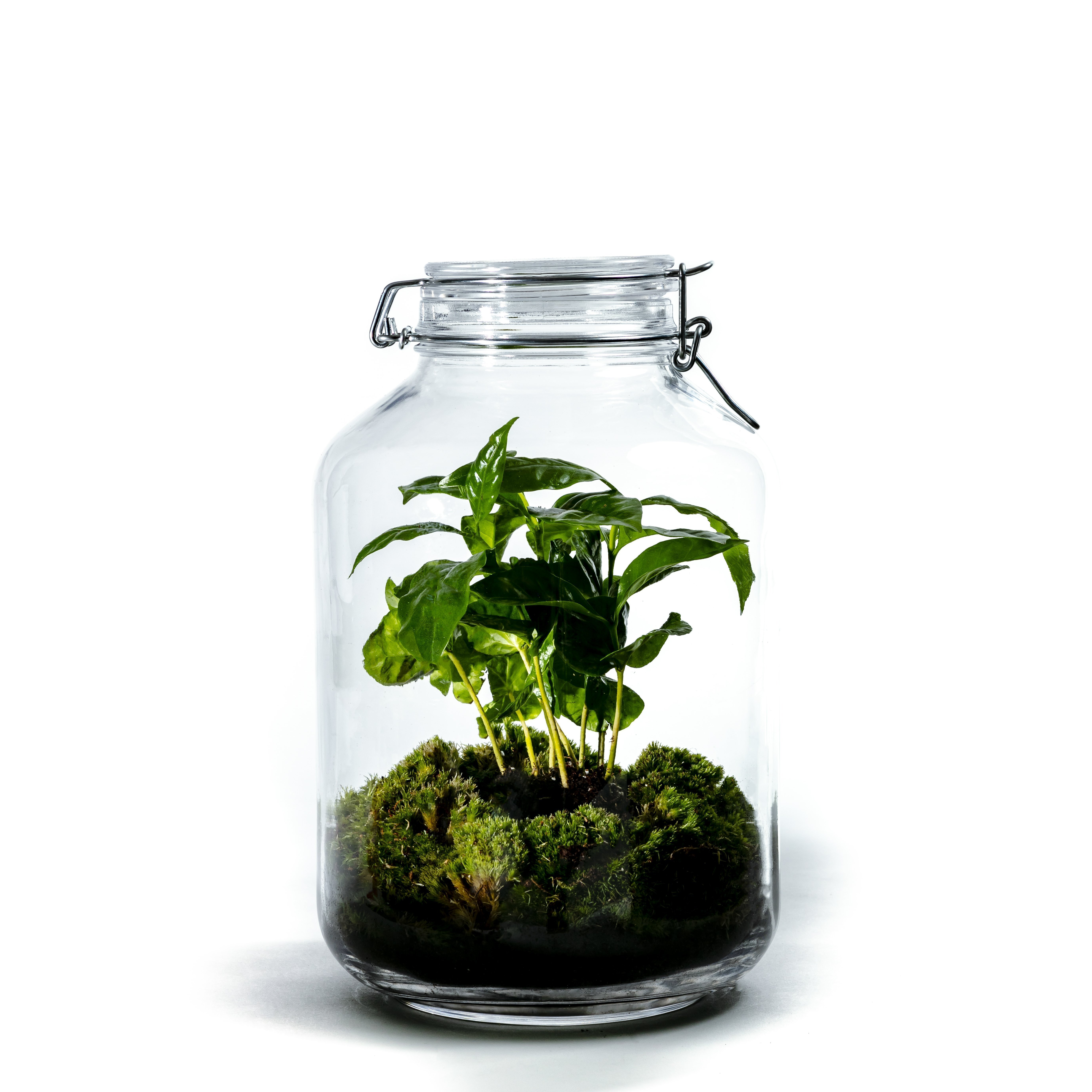 DIY Sustainable Garden in a Bottle from Botanicly: Jar Large - Coffea arabica (Height: ca. 30 cm)