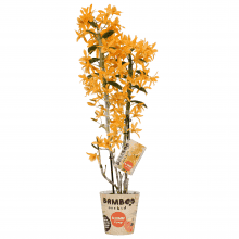 Orchidee – Bambus Orchidee – Höhe: 50 cm, 2 Triebe