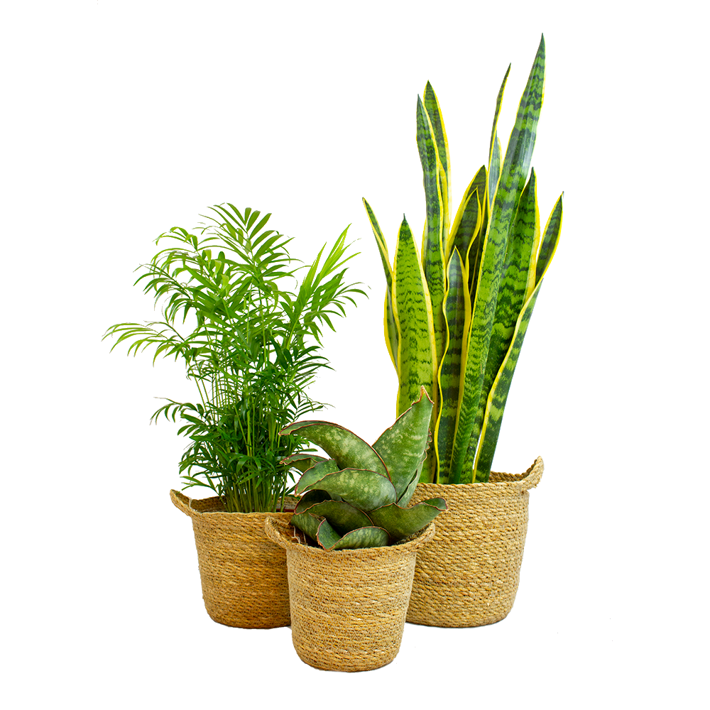 Trees – 3 × Snakeplant in seagrass pot as a set – Height: 52 cm