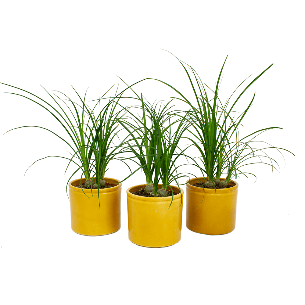 Indoor Plants – 3 × Ponytail palm in yellow ceramics pot as a set – Height: 35 cm