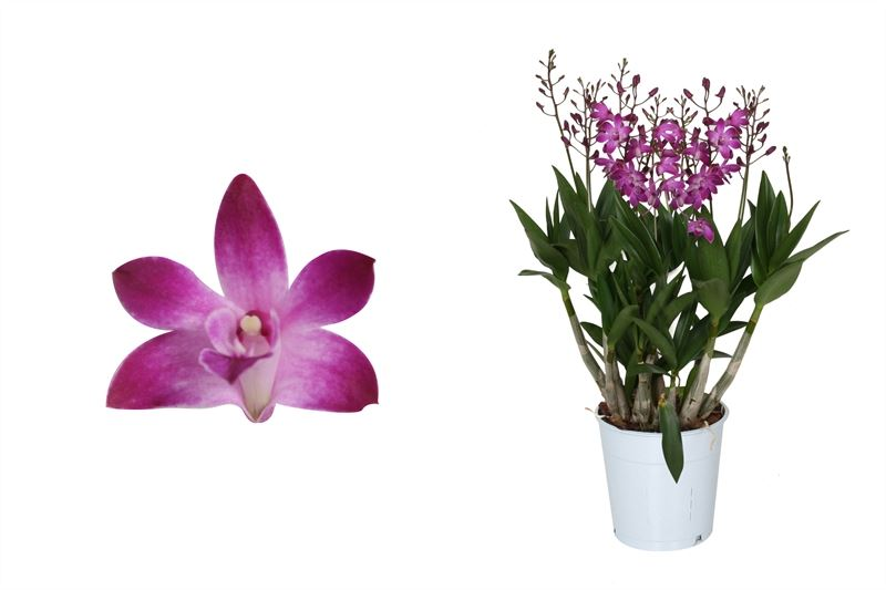 Orchidee – Bambus Orchidee rosa  – Höhe: 40 cm, 6 Triebe