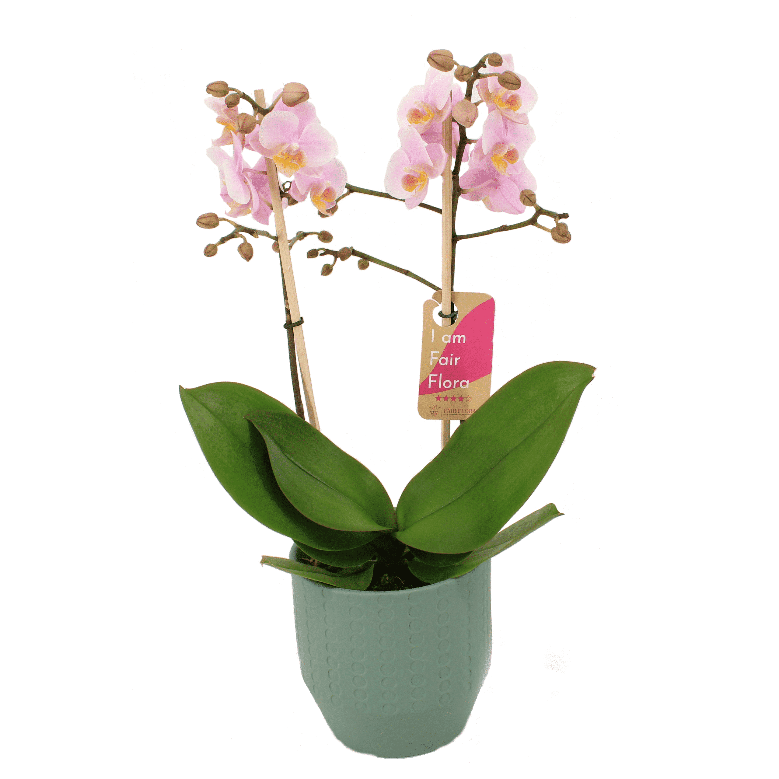 Orchid – Orchid in green ceramics pot 'Eline' as a set – Height: 50 cm, 2 stems